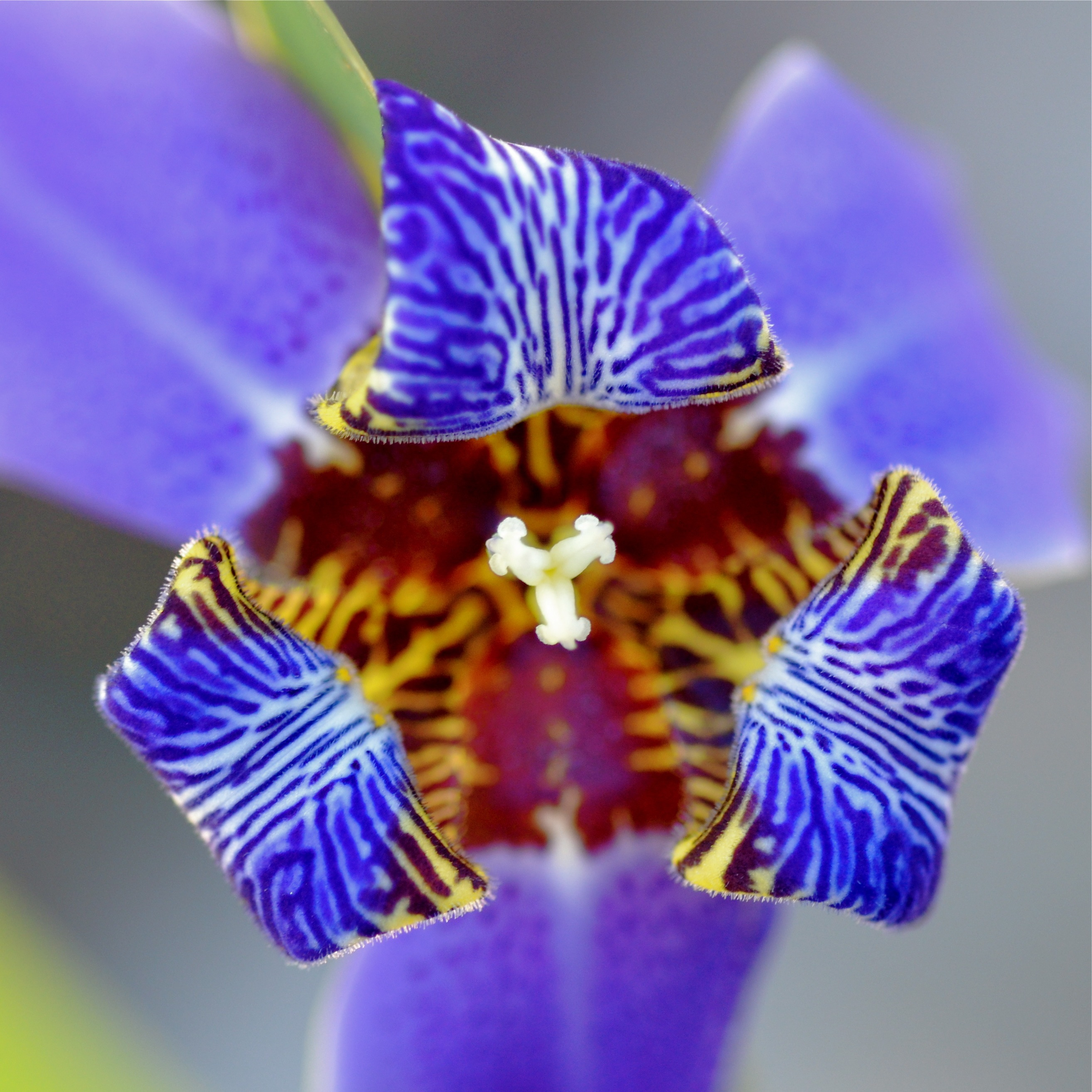 Iris - Property of National Geographic